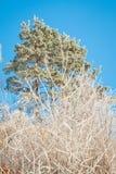 Icy Scots pine. Pinus sylvestris Royalty Free Stock Photo