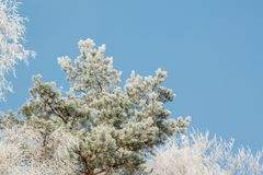 Icy Scots pine. Pinus sylvestris Stock Photography