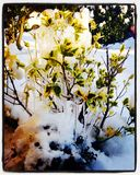 Icy Shrub. Snow ice shrub green icy cold Royalty Free Stock Image