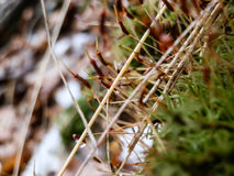 Icy snow on green moss in forest macro Royalty Free Stock Photo