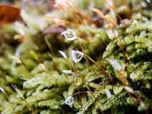 Icy snow on green moss in forest macro Stock Photos