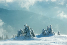 Icy snowy fir trees on winter hill. Royalty Free Stock Image