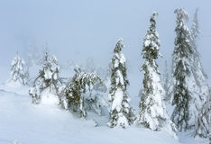 Icy snowy fir trees on winter misty hill. Stock Photography