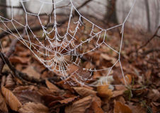 Icy spider web in forest Stock Photo
