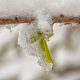 Icy Spring Bud Stock Images