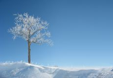 Icy Tree. An ice covered tree stands alone in the middle of winter. Crisp blue sky background. Plenty of clear space for copy stock photography