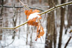 Icy tree branch with leaves Royalty Free Stock Photo