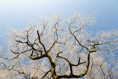 Icy Tree Branches against a Clear Bright Sky. Top half of a wintry tree with frost covering every branch, clear bright blue sky in the background Stock Images