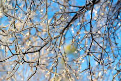 Icy Tree Branches Stock Photography
