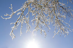 Icy tree branches in the sunlight Royalty Free Stock Photography