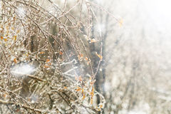 Icy tree branches Stock Image