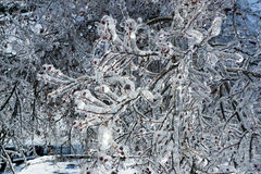 Icy tree branches after freezing rain Stock Photography