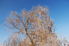 Icy tree branches of a weeping willow tree in the city park. Royalty Free Stock Image