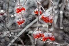 Icy tree branches. In a winter ice storm Royalty Free Stock Photo