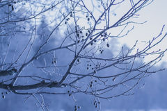Icy twigs. Branches in winter, closeup, Russia Saint Petersburg Stock Photos