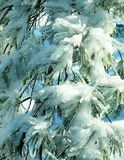 Icy White Pine Needles. White pine needles coated with ice and snow Royalty Free Stock Photo