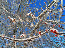 Icy Winter berries. Blue beautiful sky brown red ivy branches ice Stock Photography
