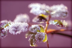 Icy wonder. A frost covered plant as the early morning sunlight dances across its leaves leaving sparkles like tiny diamonds with a nice magenta toned background Stock Photos