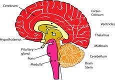 Idérik hjärndesign med huvudet för hjärna för handlagpunktord royaltyfri illustrationer