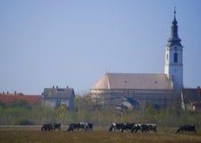 Idílio da vila com igreja e vacas imagem de stock