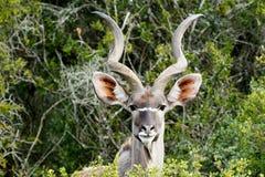 ID Photo look - Greater Kudu - Tragelaphus strepsiceros Stock Photography