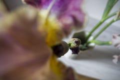 Id?rikt perspektiv av irisblomman i l?genhetinre fotografering för bildbyråer