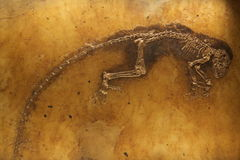 Ida the fossil Stock Image