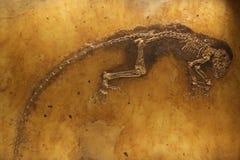 Ida het fossiel Stock Afbeelding