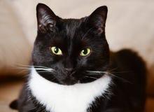 Idade do gato preto no sofá fotos de stock royalty free