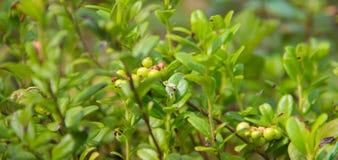Idaea do vitis do Lingonberry ou do Vaccinium Fotos de Stock Royalty Free