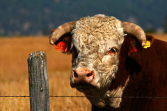Idaho Bull 2 Royalty Free Stock Images