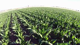 Idaho crops growing in rows stock video footage