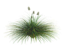 Idaho_fescue_(Festuca_idahoensis) Royalty Free Stock Images