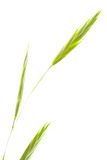 Idaho Fescue on White Royalty Free Stock Photography
