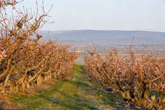 Idaho fruit orchard with trees in full bloom in the morning Stock Photography