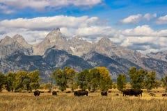 IDAHO GDZIEŚ stajni żubra DZIKI DZIKI bizon obrazy stock