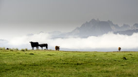 Idaho mountains and cows grazing in a field Royalty Free Stock Images