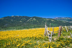 Idaho Mountains in June. Wildflowers blooming in the mountains of Idaho Stock Image