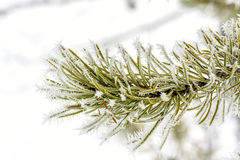 Idaho pine tree frosted with winter Royalty Free Stock Image