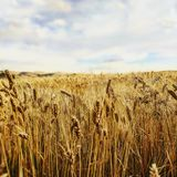 Idaho Wheat Stock Photography