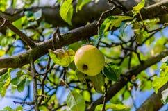 Idared apples Royalty Free Stock Image