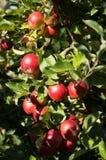 Idared jabłka na drzewie zdjęcia stock