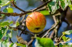 Idared jabłka obraz stock