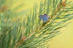 Idas blått (Plebejus idas) Arkivbilder