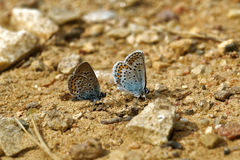 Idas Blue Royalty Free Stock Image