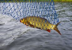 Ide fish catch. Royalty Free Stock Image