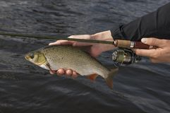 Ide fish in hand of fisherman with rod.  stock photography