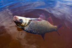 Ide on the hook. Caught ide (Leuciscus idus) on the hook royalty free stock images