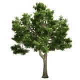 Ide Tree Isolated Fotografie Stock Libere da Diritti