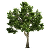 Ide Tree Isolated Royalty Free Stock Photos
